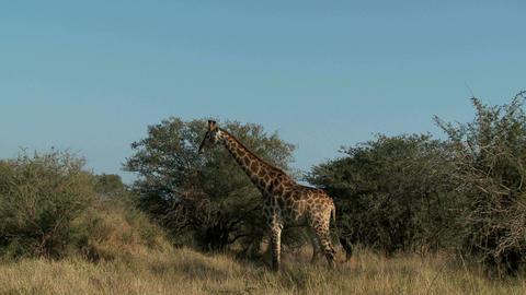 Giraffe in field Footage