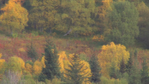 Hawk flying over forest in autumn Live Action