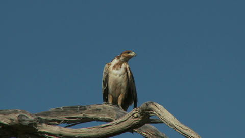 Hawk on tree branch Live Action