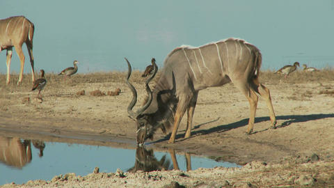 Kudu bull drinking water Live Action