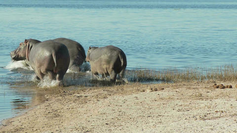 Hippos getting into water Footage