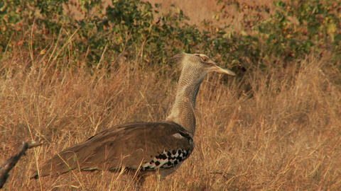 Kori bustard in dry field Live Action