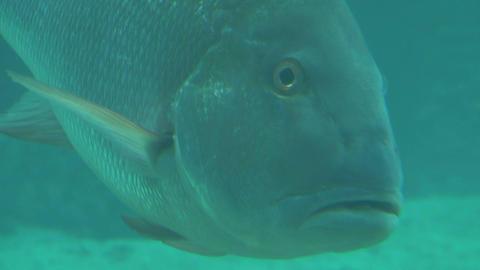 Large tropical fish staring at camera Footage