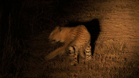 Leopard at night Footage