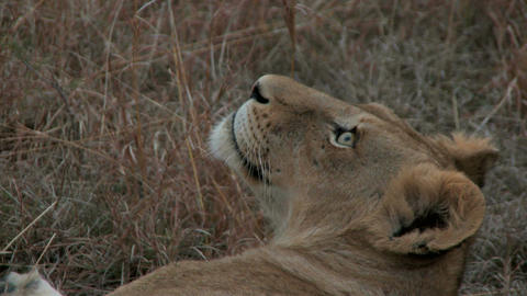 Lion laying down close up Live Action