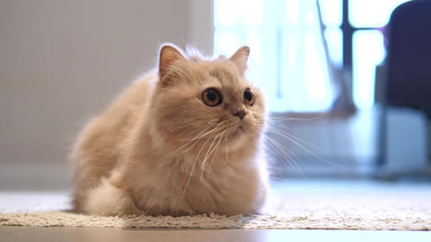 Motion of persian cat staring at people on floor with 4k resolution Footage
