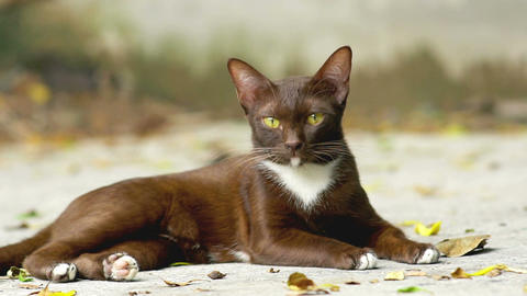 Siamese ginger cat Image