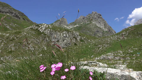 Wild carnation between the mountains in Durmitor Footage