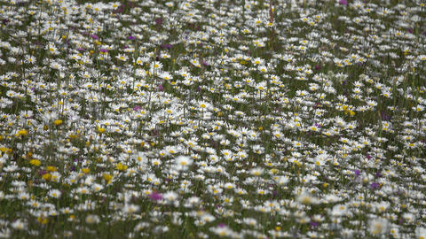 summer meadow with daisies, background Footage