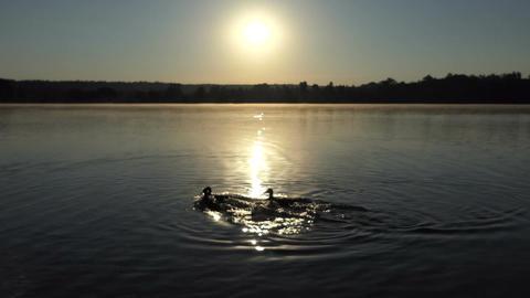Three ducks swim on a lake at a splendid sunset in 4k Footage