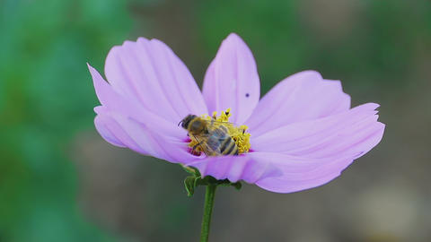 Bee on cosmos flower Footage