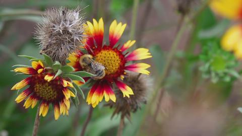 Bumblebee on a flower gailardia Footage