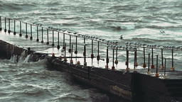 Video - Large flock of seagulls sitting on the old pier and hunting down fish in Footage