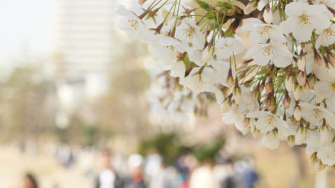 Blooming white cherry blossoms on the shore of Odaiba, and out of focus group of Footage