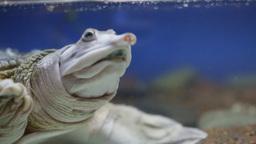 Spiny Softshell Turtle Footage