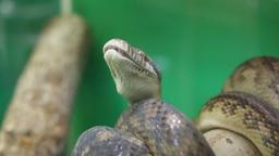 head python Footage