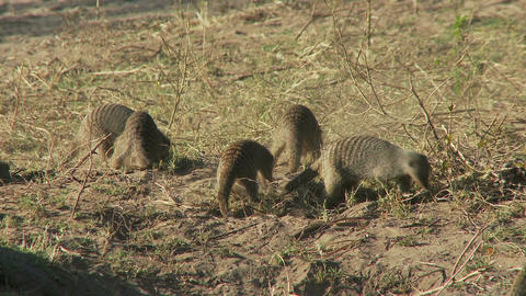Meerkats on dry grass Live Action