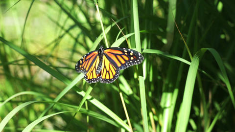 Monarch butterfly on grass Footage