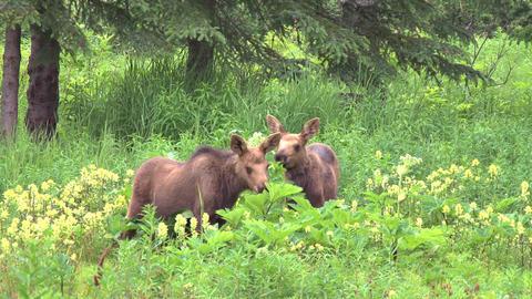 Moose calves eating plants in field Footage