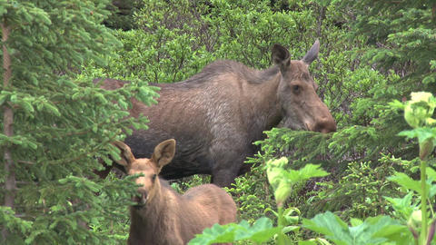 Moose mother and calf in the woods Footage