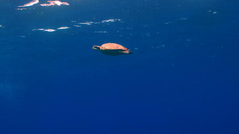 Sea turtle swimming in open water near the surface Live Action