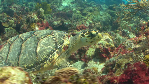Sea turtle swimming through coral reef Footage