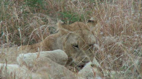 Sleepy lions Footage