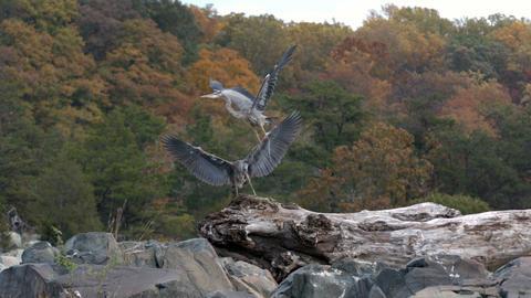 Slow motion herons on rocks Footage