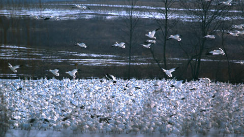 Slow motion snow geese flying over flock Footage