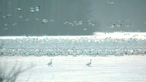 Slow motion snow geese taking flight Live Action
