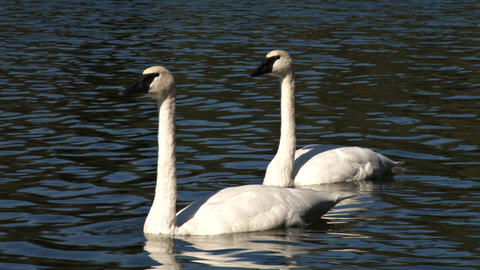 Two swans on water Footage