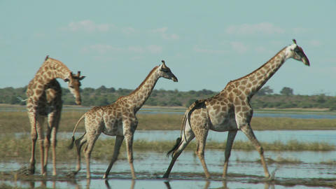 Three giraffes Live Action