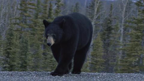 Yukon black bear attacking cameraman Footage