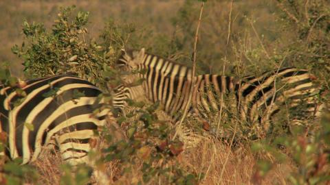 Zebras walking through foliage Footage