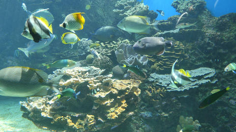 Wide shot of various fish species swimming in an aquarium Footage