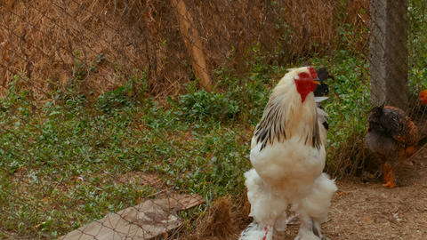 Brahma chicken at an organic sustainable farm Live Action