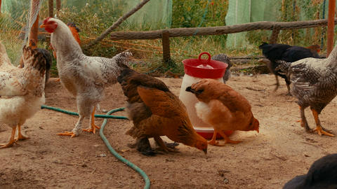 Various breeds of chicken at an organic sustainable farm Live Action