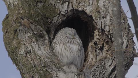 Ural Owl at Hokkaido, Japan ライブ動画