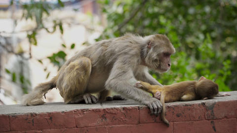 Female monkey with cub Live Action