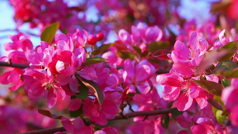 Blooming Pink Crab Apple Tree Footage
