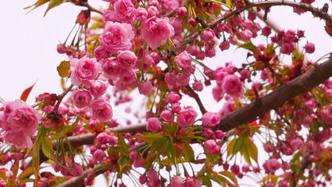 Sakura Blossom with Pink Flowers Footage
