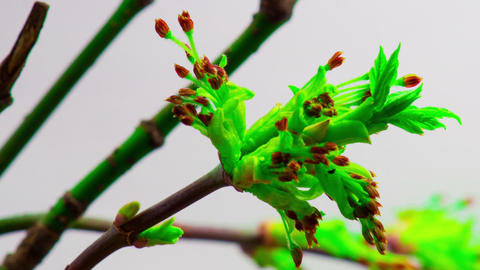 Young Green Leaves Grow from Buds Footage