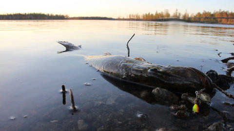 Lost force pike lies on the shallow shore Footage