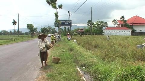 Women harvest rice Footage