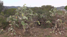Opuntia grow at top of hill, close up live shot, poor looking prickly pear Footage