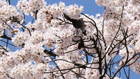 Wild bird nesting in full bloom cherry blossoms in clear, blue skies Footage