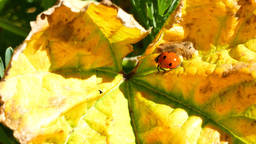 Ladybird beetles resting on a leaf in spring Footage