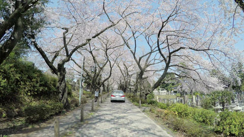 Cherry blossoms blooming along the beautiful alley of Aoyama Cemetery Footage