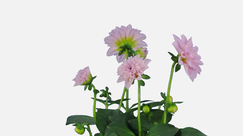 Growing, opening and rotating pink dahlia with ALPHA channel Footage