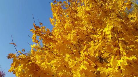 Video of orange autumn leaves 画像